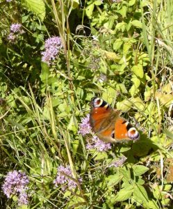 wild marjoram with peacock butterfly